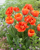 Tulipa Triple A, Queensday