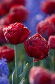 Tulipa Red Baby Doll