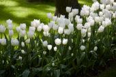 Tulipa Snow Lady