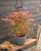 Acer palmatum Butterscotch ®