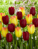 Tulipa Suncatcher, National Velvet
