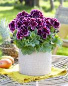 Pelargonium grandiflorum Denise
