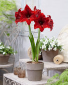 Hippeastrum Arabian Night