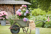 Hydrangea in wheelbarrow