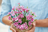 Hands holding dianthus