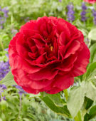 Paeonia Old Faithfull