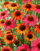Echinacea SunSeekers mix
