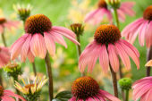 Echinacea Summer Cocktail ®