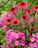 Veronica First love, Phlox Famous Light Pink, Echinacea SunSeekers Pink