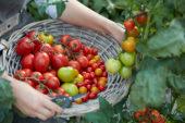 Harvesting tomatoes