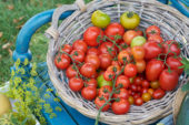 Harvested tomatoes