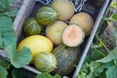 Melon collection