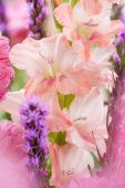 Liatris spicata, Gladiolus