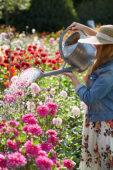 Watering Dahlia garden