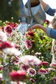 Watering dahlias