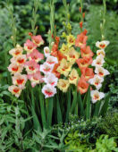 Gladiolus Little Flowering mixed