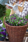 Watering pansies and bulbs