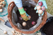 Planting hyacinth bulbs