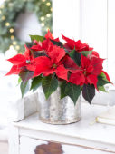 Poinsettia in winter ambiance