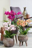 Phalaenopsis combinatie