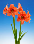 Hippeastrum Orange Queen