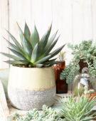 Succulent combination