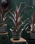 Cordyline obtecta Superstar