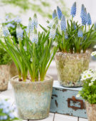 Muscari Cool Blues