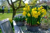 Narcissus Yellow Carpet, Muscari