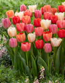 Tulipa Pride mix