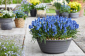 Muscari Big Smile