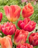Tulipa Zoe, Hypnose
