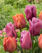 Tulipa Brown Sugar, Copex