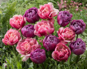 Tulipa Blue Diamond, Libretto Double