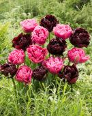 Tulipa Amazing Grace, Palmyra