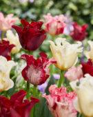 Tulipa coronet mix