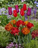 Tulipa combination