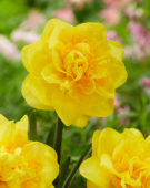 Narcissus Sigurta
