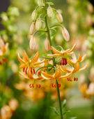 Lilium Guinea Gold