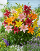 Lilium Asiatic mixed