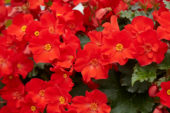 Begonia Dreams Garden MacaRouge
