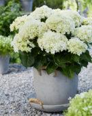 Hydrangea Multi-Double by Magical® Saturday White Fever