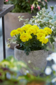Tagetes yellow