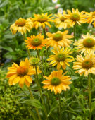 Echinacea Mellow Yellows