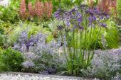 Agapanthus Poppin' Purple