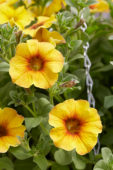 Petunia BeautyCal Caramel Yellow