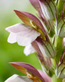 Acanthus hungaricus White Lips