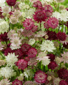Astrantia mix