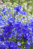 Delphinium grandiflorum Diamonds Blue