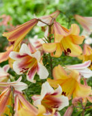 Lilium Passion Moon, Eastern Moon